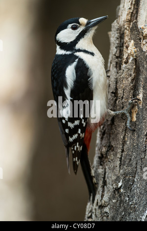 Great Spotted Woodpecker or Greater Spotted Woodpecker (Dendrocopos major), Hebertshausen, Bavaria - Stock Photo
