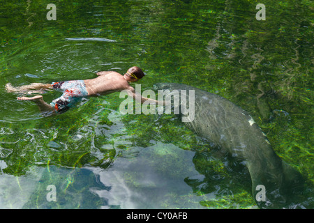 A Manatee and swimmer in the Blue Spring Run swimming area, Blue Spring State Park, near Orange City, Central Florida, - Stock Photo