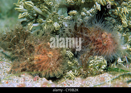 Striated frogfish (Antennarius striatus), has developed a remarkable adaptation in the form of hairy skin appendages, - Stock Photo