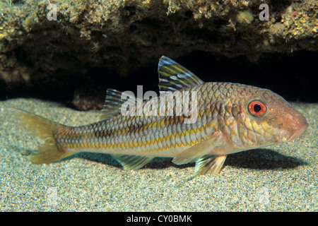 Striped Red Mullet (Mullus surmuletus), Turkish Riviera, Lycian Coast, Kas, Lycia, Turkey, Mediterranean - Stock Photo
