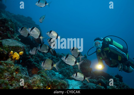 Two-banded seabreams (Diplodus vulgaris), Bodrum, Turkey, Mediterranean Sea - Stock Photo