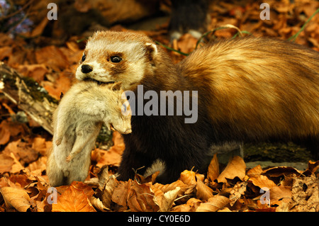 Artificial beech forest with a stuffed animal, European polecat (Mustela putorius) carrying a rat (Rattus), prey, - Stock Photo
