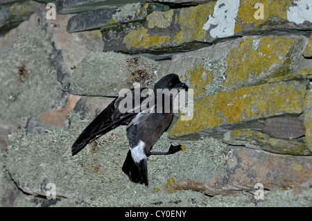 European Storm Petrel Hydrobates pelagicus on wall of Mousa Broch on Mousa Shetland, returning to nest - Stock Photo