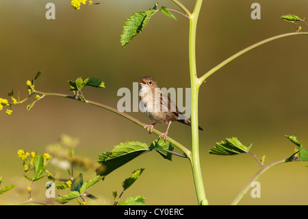 Grasshopper Warbler Locustella naevia in song Norfolk May - Stock Photo