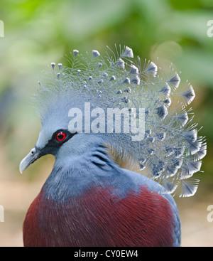 Victoria Crowned Pigeon, Goura victoria New Guinea - Stock Photo