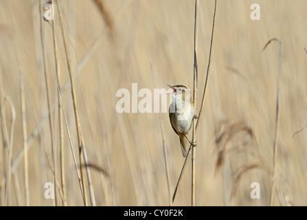 Sedge Warbler Acrocephalus schoenobaenus in song Cley Norfolk May - Stock Photo