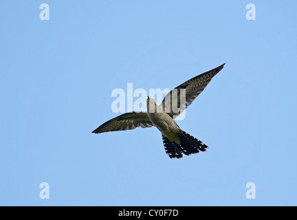 Common Cuckoo Cuculus canorus male Norfolk - Stock Photo