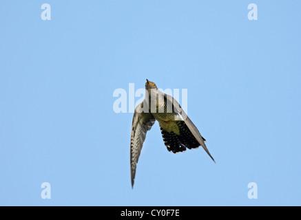 Common Cuckoo Cuculus canorus male Norfolk - Stock Photo