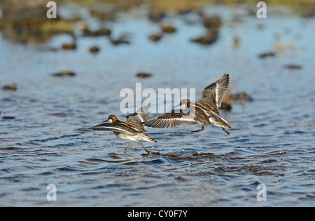 Red-necked Phalarope Phalaropus lobatus pair Shetland UK June - Stock Photo