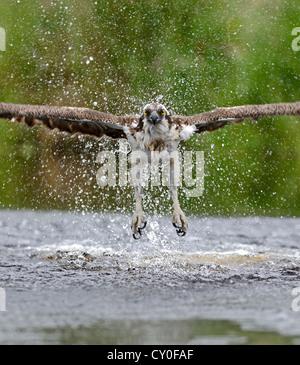 Osprey Pandion haliatus fishing Inverdruie Fish Farm Speyside Scotland July - Stock Photo