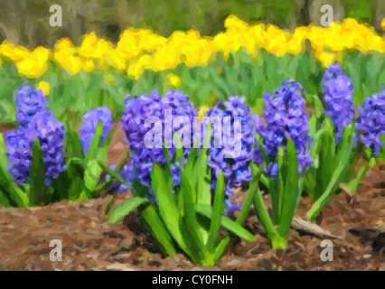 Blue hyacinth in a flower bed with yellow daffodils in the background. - Stock Photo