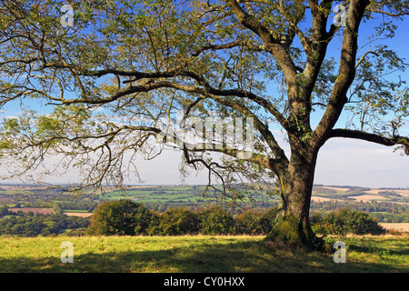 An Ash tree on Old Winchester Hill in Hampshire England with views across the rolling countryside of Meon valley - Stock Photo