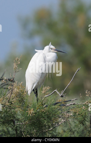 an little egret resting on a branch in nuptial plumage - Stock Photo