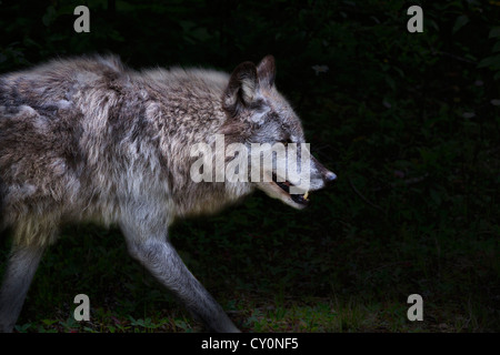 Grey wolf, Canis lupus, on the prowl. Columbia Valley, British Columbia, Canada - Stock Photo