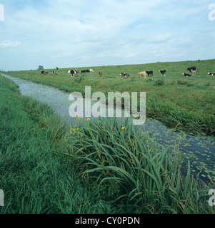 Cattle grazing on level low lying pasture beside a drainage dyke, Cambridgeshire - Stock Photo