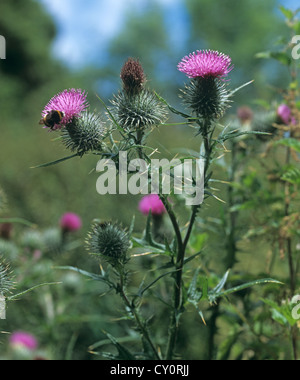 Spear thistle, Cirsium vulgare, in flower - Stock Photo