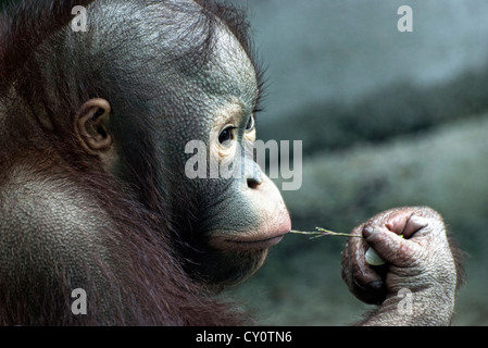 Look of little monkey (Pongo pygmaeus)