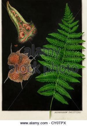 Painting of an eastern marsh fern, Dryopteris thelypteris. - Stock Photo