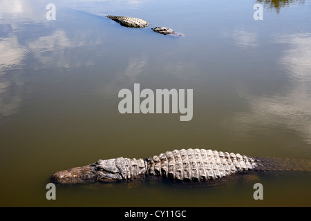 two large american alligators swimming floating near water surface florida usa - Stock Photo