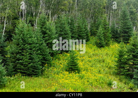 White spruces on slope, with goldenrods, Greater Sudbury, Ontario, Canada - Stock Photo