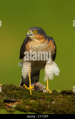 Male Eurasian Northern Sparrowhawk Accipiter nisus perched on mossy wooden branch with wood mouse prey - Stock Photo