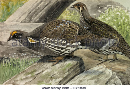 A painting of a male and female dusky grouse. - Stock Photo