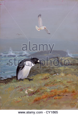 A painting of the, now extinct, great auk. - Stock Photo
