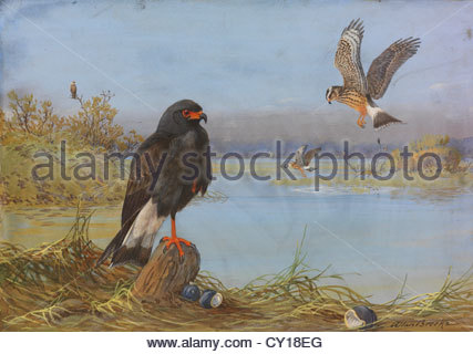 A painting of an adult and an immature Everglade snail kite. - Stock Photo