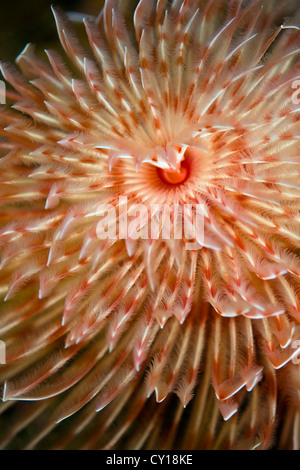 Feather Duster Worm, Protula magnifica, Misool, West Papua, Indonesia - Stock Photo
