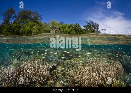 Blue-green Damselfish over shallow Coral Reef, Chromis viridis, Misool, West Papua, Indonesia - Stock Photo