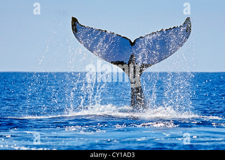 Fluke of Humpback Whale, Megaptera novaeangliae, Hawaii, USA - Stock Photo