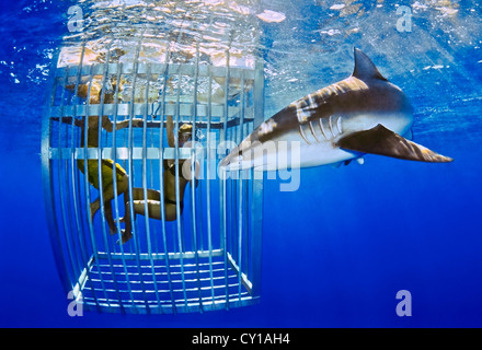 Tourists watching Galapagos Shark, Carcharhinus galapagensis, Oahu, Hawaii, USA - Stock Photo