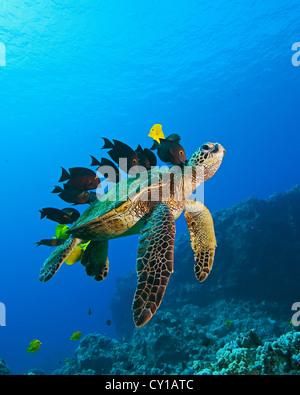 Green Sea Turtle cleaned by Fishes, Chelonia mydas, Big Island, Hawaii, USA - Stock Photo