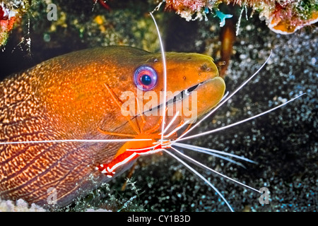 Undulated Moray Eel cleaned by Scarlet Cleaner Shrimp, Gymnothorax undulatus, Lysmata amboinensis, Big Island, Hawaii, - Stock Photo