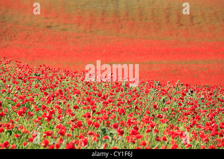 A field of poppies at Blackstone Nature Reserve, near Bewdley, Worcestershire, England, Europe - Stock Photo