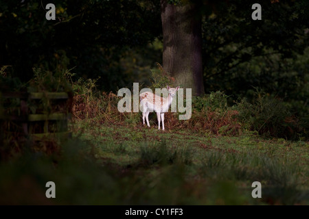 Young fallow deer lit by early morning sunshine in a woodland thicket - Stock Photo