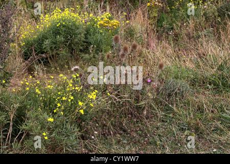 cap blanc nez france cote d'opale pas de calais Bull Thistle (Cirsium Vulgare) And Wildflowers - Stock Photo