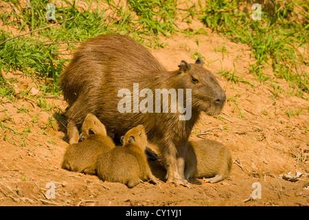 Capybara (Hydrochaeris hydrochaeris) , mother with young nursing - Stock Photo
