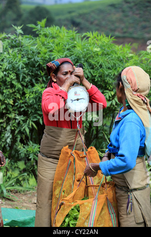 Sri Lankan women weighing sacks of fresh picked tea at a tea estate near Nuwara Eliya in the Sri Lankan highlands. - Stock Photo