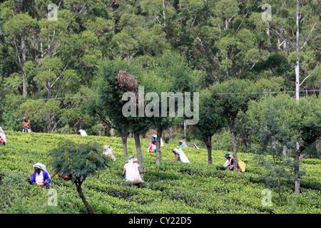 Sri Lankan women picking tea on a tea plantation near Nuwara Eliya in the Sri Lankan highlands. - Stock Photo