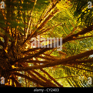 Image of pine tree, fresh evergreen plant, spruce forest, trees branches with needles, wild rainforest, sunny day - Stock Photo