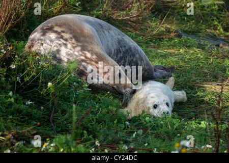 Atlantic Grey Seal mother and pup (Halichoerus grypus) - Stock Photo