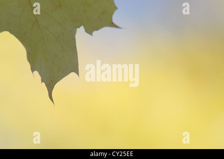 Yellow maple leaf (Acer sp.) in autumn. - Stock Photo