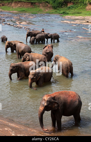 Elephants from Pinnawalla Elephant Orphanage, Sri Lanka, being washed and refreshed in the river - Stock Photo