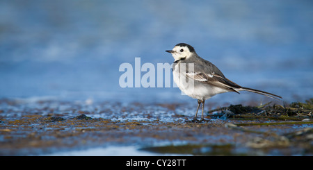 Pied wagtail standing on the shore on a sunny spring morning - Stock Photo