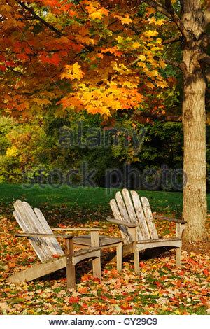 A Sugar Maple Tree In Autumn Allentown Pennsylvania
