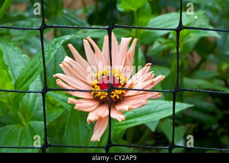 Zinnia seen behind flower behind fence Yarmouth Community Garden, Yarmouth Maine - Stock Photo