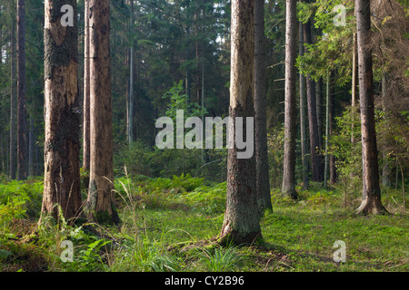 Early autumn morning in the forest with mist and dead spruces still standing - Stock Photo