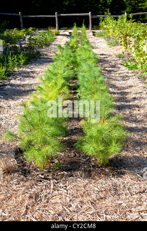 Rows of young pine trees surrounded by a shreaded wood mulch in a tree nursery. - Stock Photo