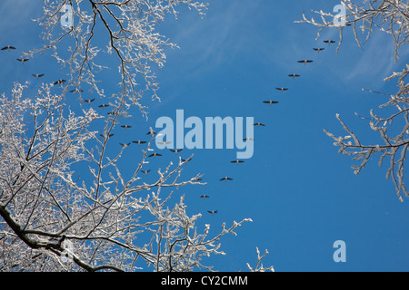 Snow wrapped alder branch and flock of geese flying over in background against blues sky - Stock Photo